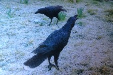 14 Wire Crows